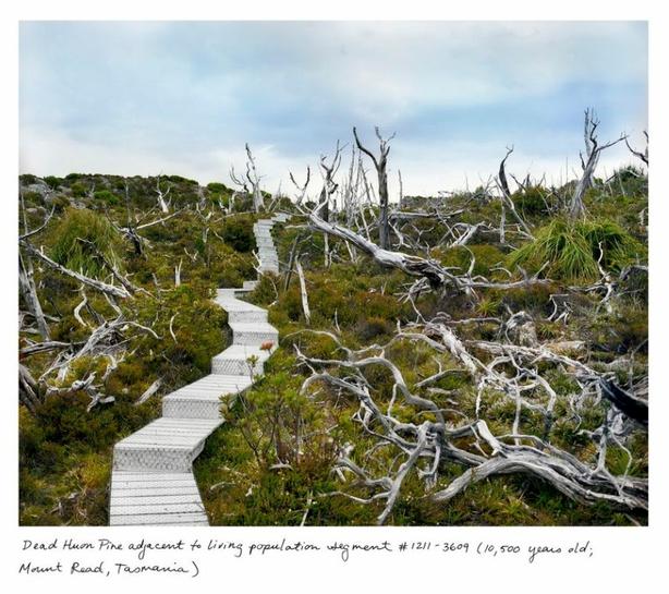 dead-pine.jpg.0x545_q100_crop-scale