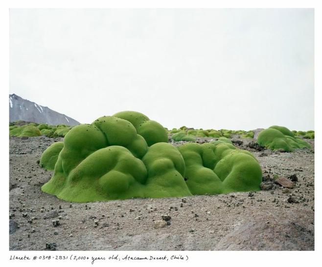 llareta-chil.jpg.0x545_q100_crop-scale