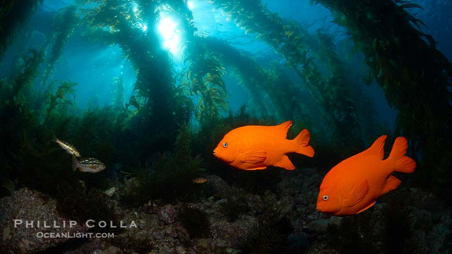 Garibaldi swims in the kelp forest, sunlight filters through towering giant kelp plants rising from the ocean bottom to the surface, underwater.